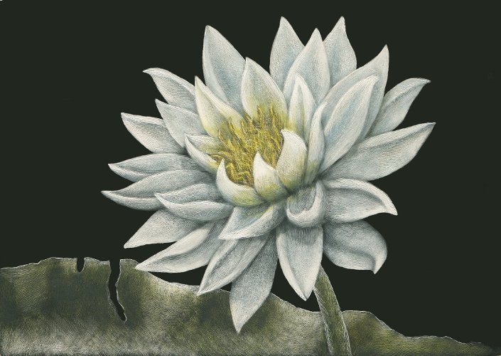 Water Lily scratchboard